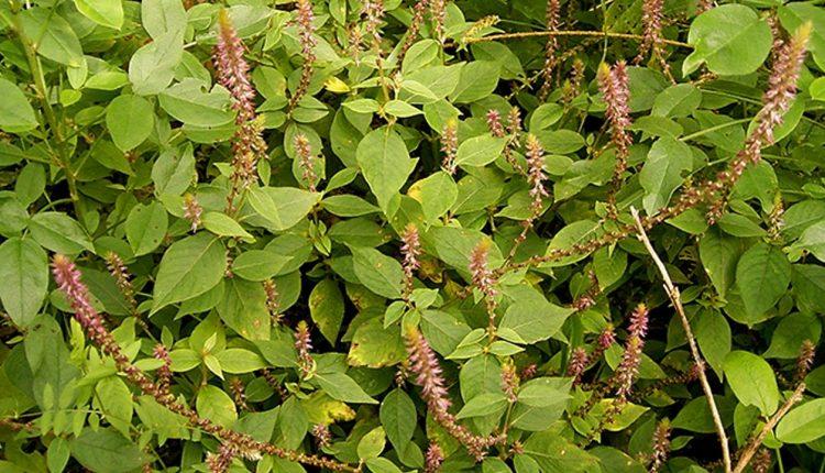 cỏ xước loại thảo dược quý cho bệnh xương khớp