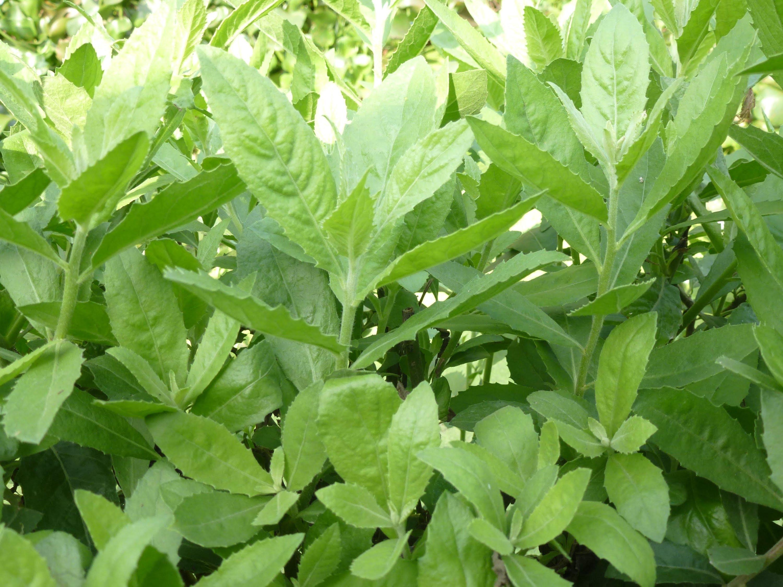 Cúc tần là loại cây mọc ở rất nhiều nơi